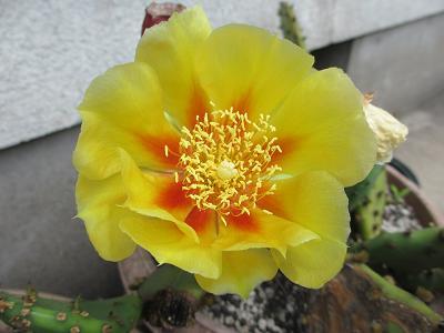 サボテンの花さん