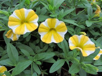 これからが盛りのレモンスライスの花