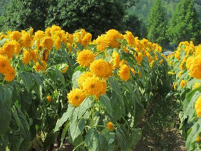 八重咲の向日葵??