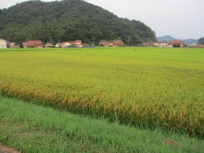 色づいてきた稲
