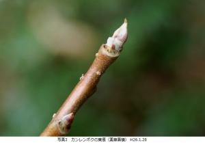 カンレンボク葉痕