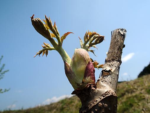 5月2日 タラの芽