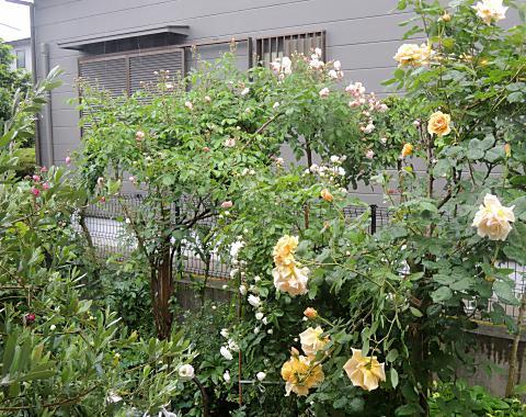 5月20日 雨の庭