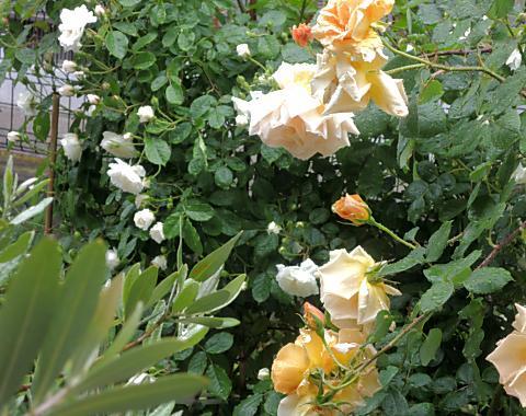 5月20日 雨の庭2