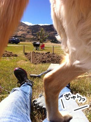 羊の国のラブラドール絵日記シニア!!畑のお披露目写真2