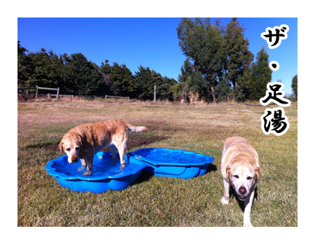 羊の国のラブラドール絵日記シニア!!「プールじゃなくて」5