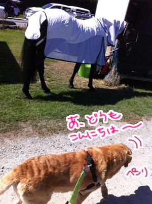 羊の国のラブラドール絵日記シニア!!「A&Pでショー」写真7