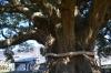 加茂の大楠2