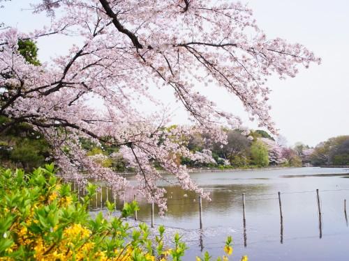 善福寺公園の桜 サイズ変更