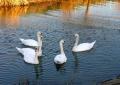 出島の白鳥