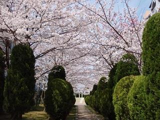 桜・満開マンション