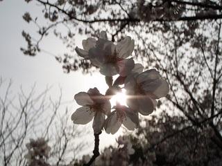 桜・無限大花弁
