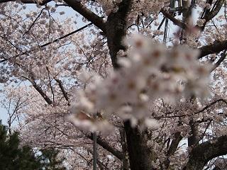 20130405桜ヶ丘満開桜後焦点