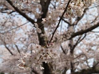 20130405桜ヶ丘満開桜前焦点