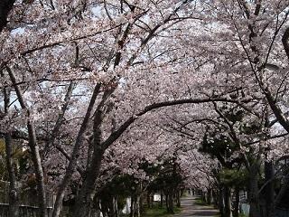 20130405桜ヶ丘満開桜緑道