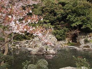 20130410清荒神桜と池の花弁