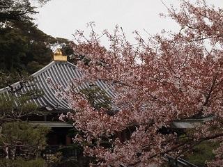 20130410清荒神桜の広報に本堂
