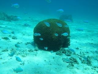 30130530宮古島脳サンゴ全景