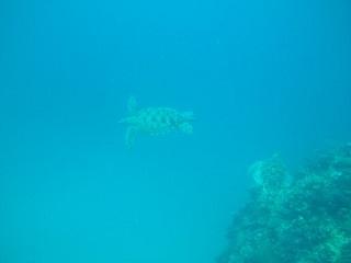 20130703アオイミガメ2匹