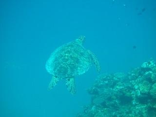 20130703アオウミガメ