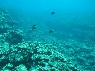 20130705サシバ沖死滅サンゴ