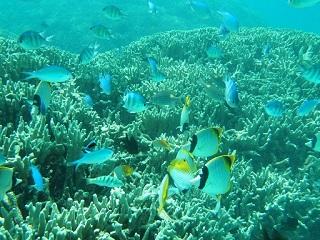 20130707コーラル熱帯魚群れ