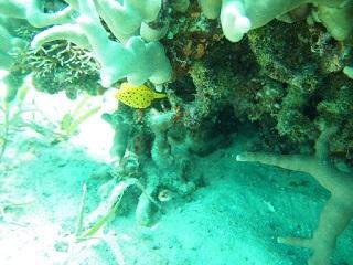 20130707ミナミハコフグ幼魚