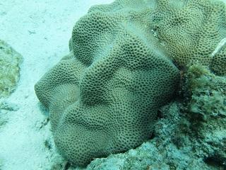 20130707人面サンゴ