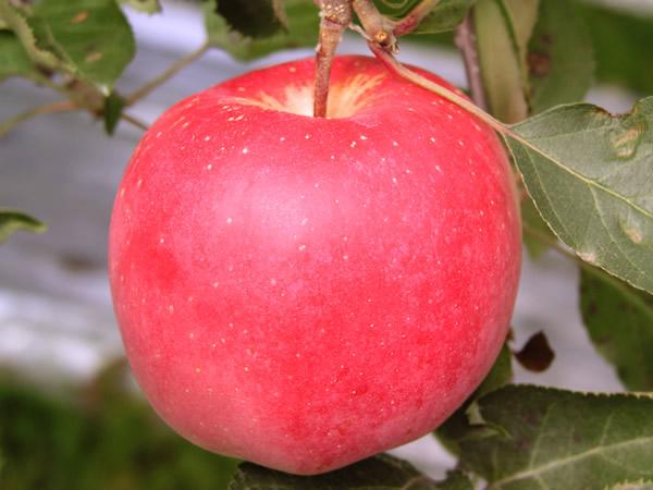 sy_024「林檎(リンゴ)・陸奥(むつ)」