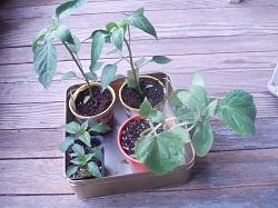 6 PlantsDan