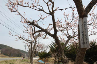蔦木宿梅並木4月-1