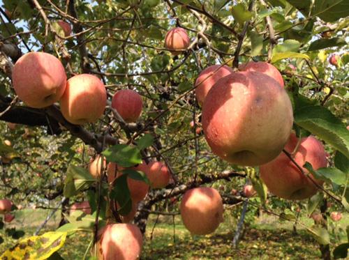 リンゴ狩り01