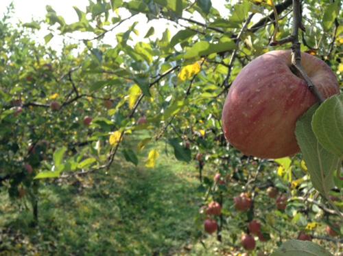 りんご狩り02