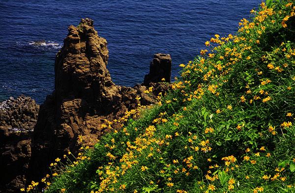 断崖に咲くトビシマカンゾウ