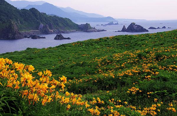 トビシマカンゾウの花畑