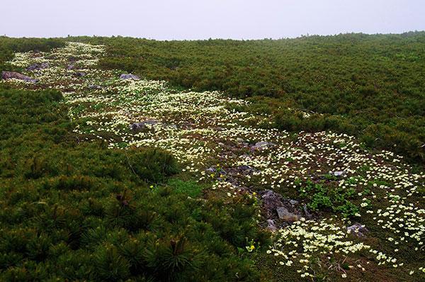 早池峰のイワウメ群落