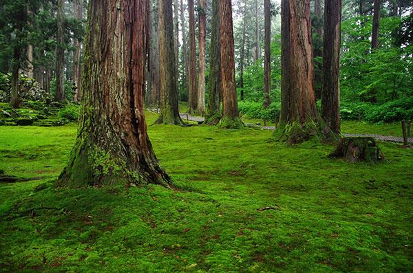平泉寺の苔と杉林