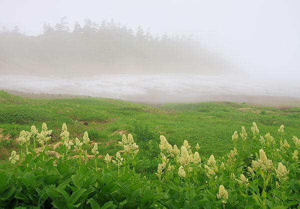 霧に浮かぶコバイケイソウ