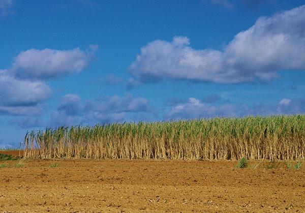 石垣島のサトウキビ畑