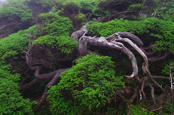 薬師岳の天然盆栽