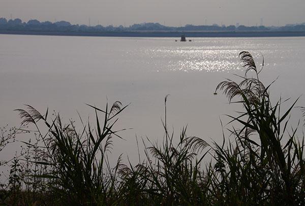 渡良瀬遊水地の水草