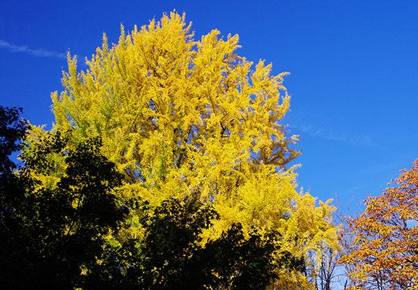 盛岡城址公園の黄葉
