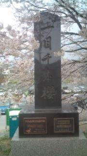 桜一目千本