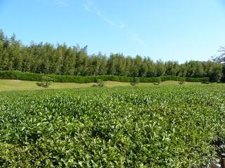 岡山後楽園茶畑