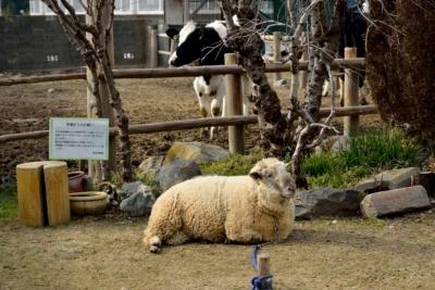 植村牧場羊と牛