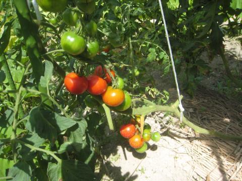 130220_tomato2.jpg