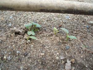 菜園2013042809
