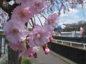 千厩川2013042802