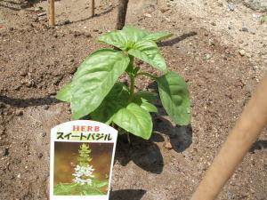 重箱石の家庭菜園20130518007