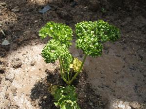 重箱石の家庭菜園20130518005